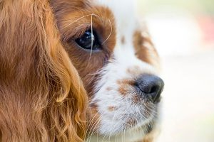 close-up of a Cavalier King Charles Spaniel