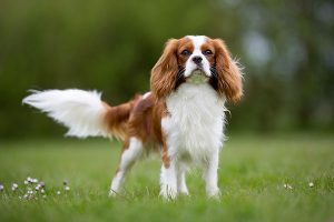 King Charles Spaniel rider in the meadow