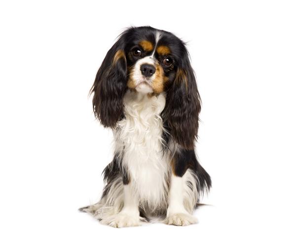 Cavalier King Charles Spaniel Tout Savoir Sur Cette Race Dogsplanet Com