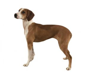 chien courant de hygen