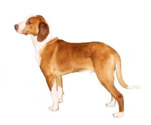 posavatz hound