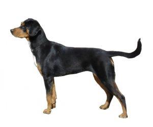 chien courant de transylvanie