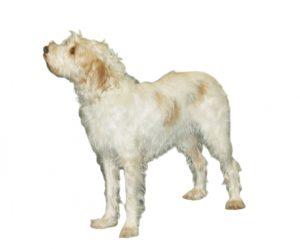 Istrian wirehaired hound