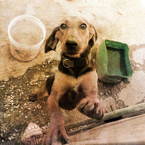 chien courant italien à poil ras personnalité
