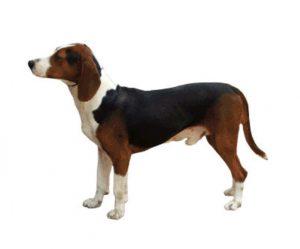 Yugoslav tricolor hound