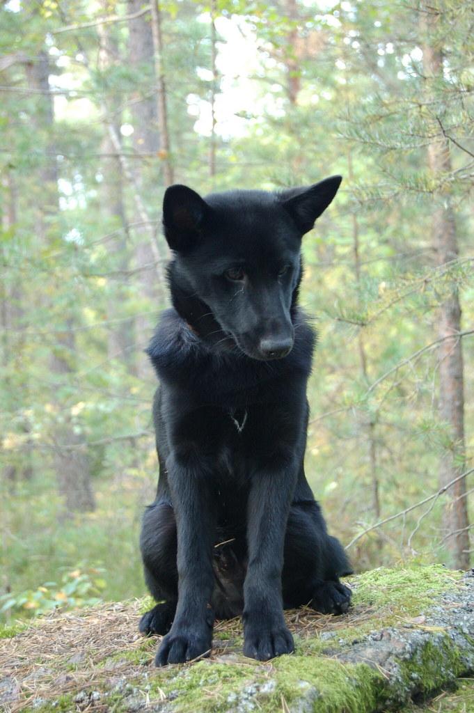 chien d'élan norvégien noir personnalité