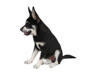 El perro alce sueco
