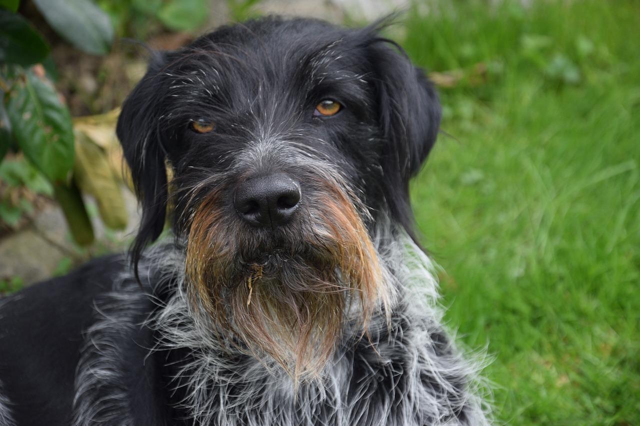 chien d'arrêt allemand à poil dur personnalité