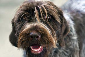 chien d'arrêt allemand à poil dur photo