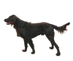 chien d'arrêt allemand à poil long