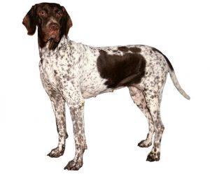 Perro señalador danés