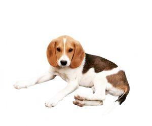 Artois dog
