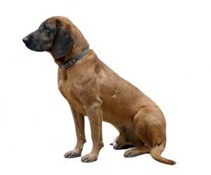 perro rojo de Baviera