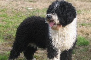 Spanish Water Dog picture 2