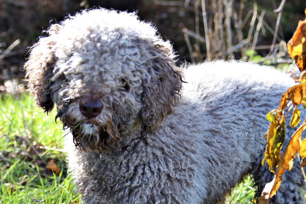 Spanish Water Dog picture 3