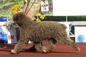 Spanish Water Dog picture 4
