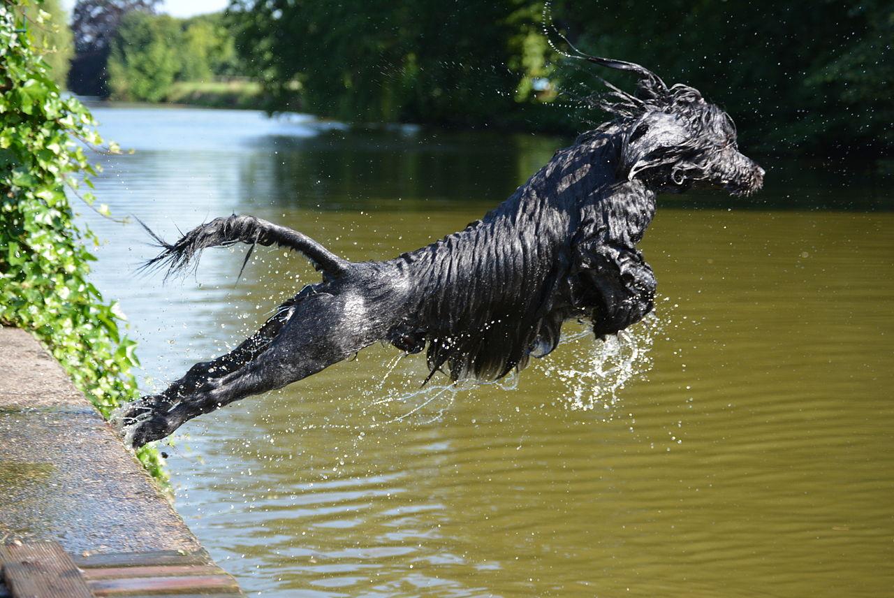 chien d'eau portugais personnalité