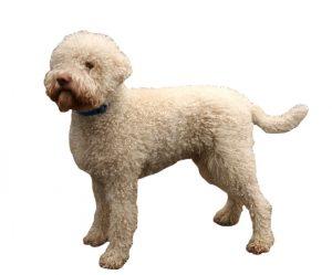 Romansh water dog