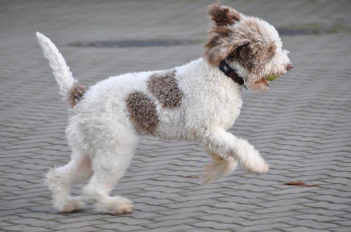 chien d'eau romagnol personnalité