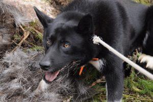 chien d'ours de carélie photo 2