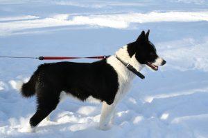 chien d'ours de carélie photo 4