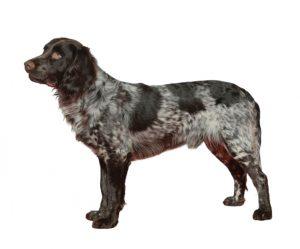 perro de oysel