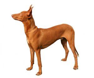 el perro del faraón