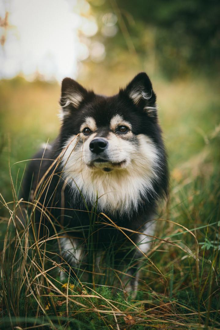 chien finnois de laponie personnalité