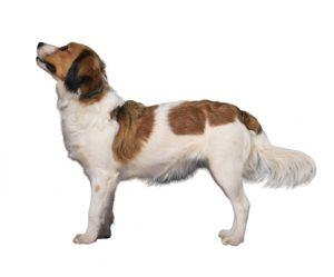 chien hollandais de canardière