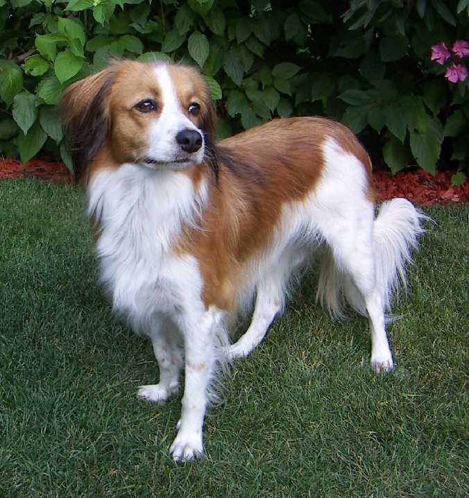 chien hollandais de canardière personnalité