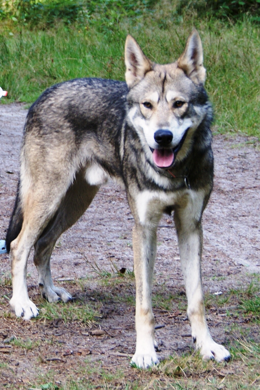 chien loup de saarloos personnalité
