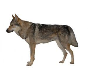 Lobo checoslovaco