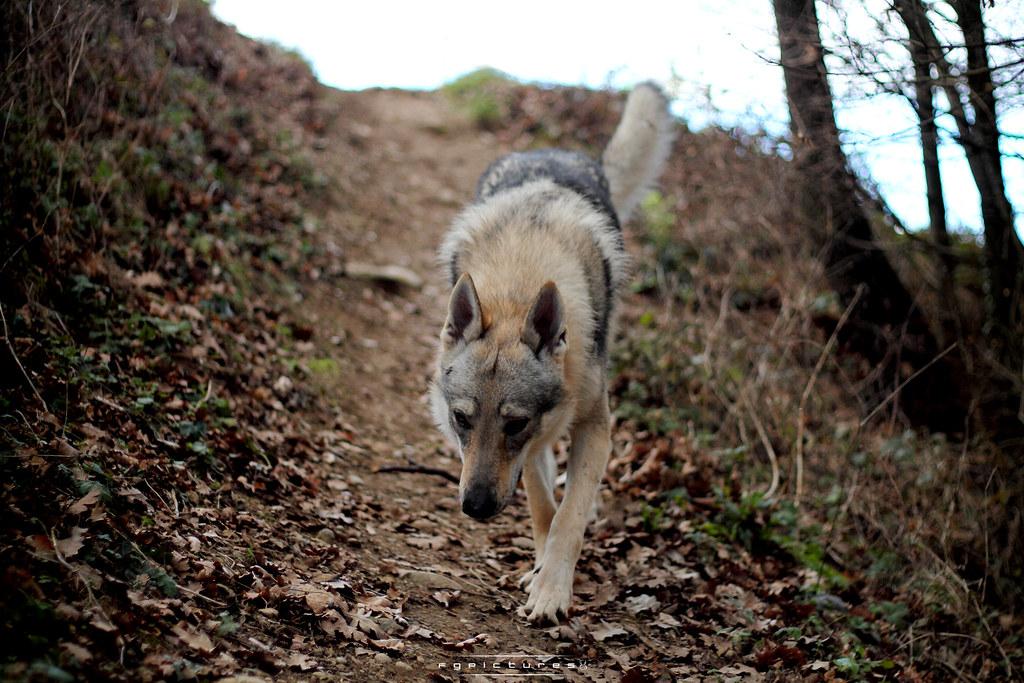 chien loup tchécoslovaque personnalité