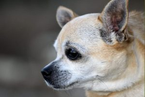 chihuahua photo 4