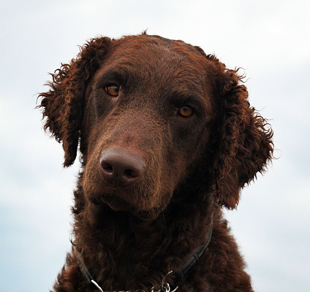 curly coated retriever personnalité
