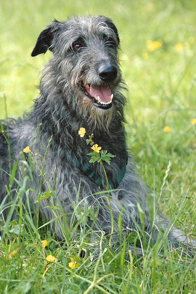 deerhound personnalité