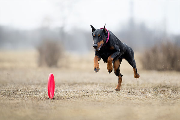 doberman qui court