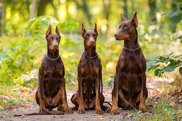 doberman brun