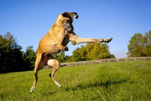 great dane playing with a ball