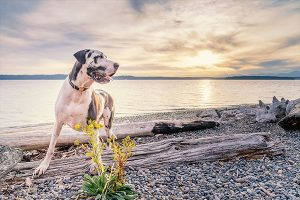 great dane on the waterfront