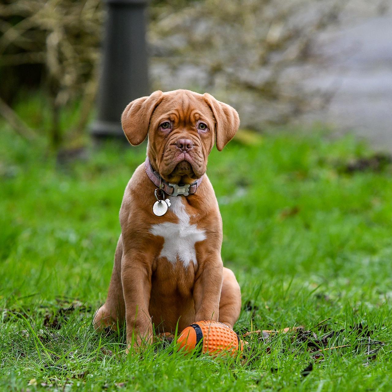 Dogue De Bordeaux Tout Savoir Sur Cette Race Dogsplanet Com