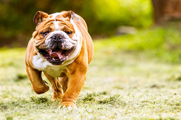 English Bulldog All You Need To Know