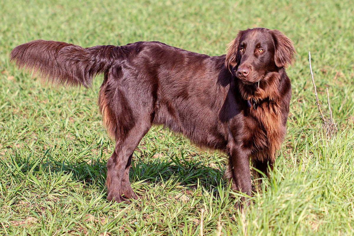 flat coated retriever photo 3