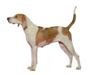 El Foxhound americano