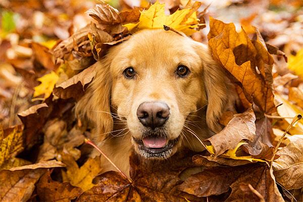Golden retriever dans des feuilles