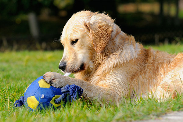 chiot Golden retriever qui joue