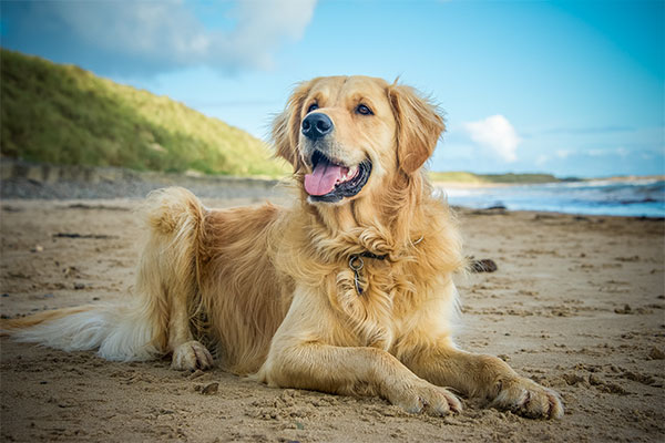 Golden retriever à la plage