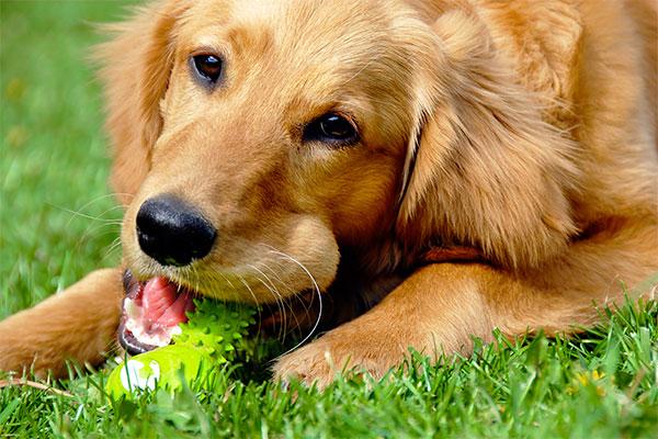 Golden retriever avec son jouet