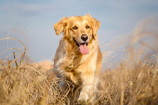 Golden retriever à la campagne