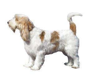 big basset hound from Vendée